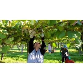 Grape Harvest Days